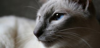 Javanese Kedisi Bakımı ve Özellikleri