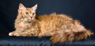 LaPerm Kedisi Bakımı ve Özellikleri