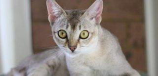 Burmilla Kedisi Bakımı ve Özellikleri