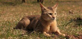 Chausie Kedisi Bakımı ve Özellikleri