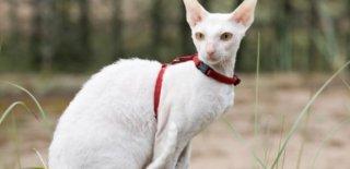 Cornish Rex Kedisi Bakımı ve Özellikleri