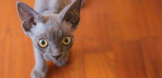 Devon Rex Kedisi Bakımı ve Özellikleri