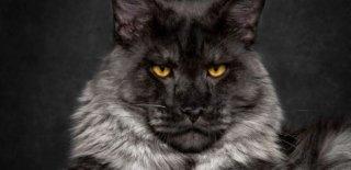 Maine Coon Kedisi Bakımı ve Özellikleri