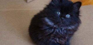 Manx Kedisi Bakımı ve Özellikleri