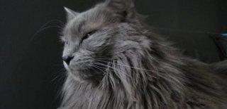 Nebelung Kedisi Bakımı ve Özellikleri