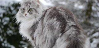 Norveç Orman Kedisi Bakımı ve Özellikleri
