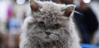 Selkirk Rex Kedisi Bakımı ve Özellikleri