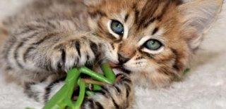 Pixie Bob Kedisi Bakımı ve Özellikleri