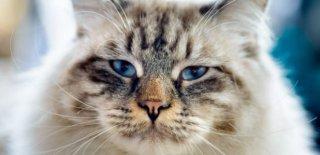 Ragamuffin Kedisi Bakımı ve Özellikleri