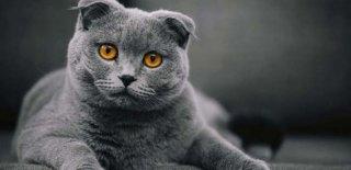 Scottish Fold Kedisi Bakımı ve Özellikleri