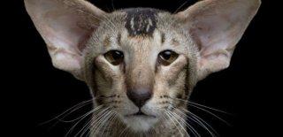 Oriental Shorthair Kedisi Bakımı ve Özellikleri
