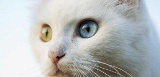 Van Kedisi Bakımı ve Özellikleri