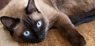 Siyam Kedisi Bakımı ve Özellikleri