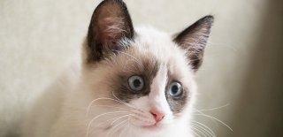 Snowshoe Kedisi Bakımı ve Özellikleri