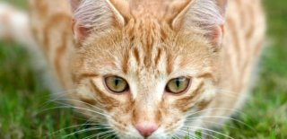 Sokoke Kedisi Bakımı ve Özellikleri