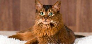 Somali Kedisi Bakımı ve Özellikleri