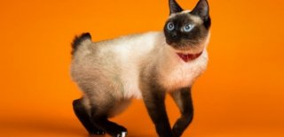 Toybob Kedisi Bakımı ve Özellikleri