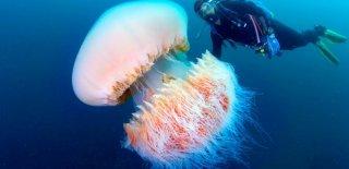 Denizanası Hakkında Bilinmeyen 10 Gerçek