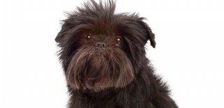 Affenpinscher Köpeği Hakkında Bilmeniz Gereken 10 Şey
