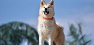 Akita Köpeği Hakkında Bilmeniz Gereken 10 Şey