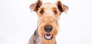 Airedale Terrier Köpeği Hakkında Bilmeniz Gereken 10 Şey