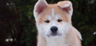 Ainu Cinsi Köpek Bakımı ve Özellikleri