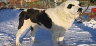 Alabay Cinsi Köpek Bakımı ve Özellikleri