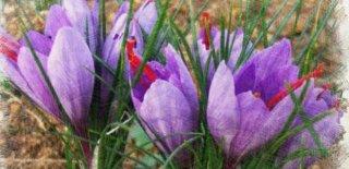 Safran Çiçeğinin Mucizevi Faydaları