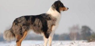 Avustralya Çoban Köpeği Hakkında Bilmeniz Gereken 10 Şey