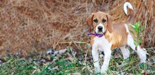 Amerikan Foxhound Köpeği Hakkında Bilmeniz Gereken 10 Şey