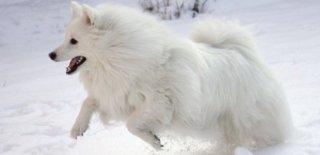 Amerikan Eskimo Köpeği Hakkında Bilmeniz Gereken 10 Şey
