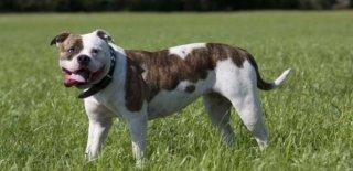 Amerikan Bulldog Köpeği Hakkında Bilmeniz Gereken 10 Şey