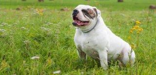 Amerikan Bulldog Cinsi Köpek Bakımı ve Özellikleri