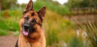 Alman Kurdu Cinsi Köpek Bakımı ve Özellikleri
