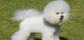 Bichon Frise Köpeği Hakkında Bilmeniz Gereken 10 Şey