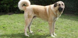 Anadolu Çoban Cinsi Köpek Bakımı ve Özellikleri