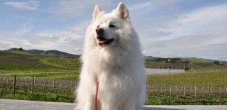Amerikan Eskimo Cinsi Köpek Bakımı ve Özellikleri