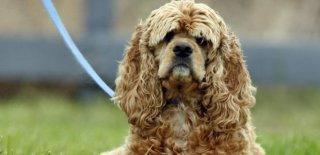Amerikan Cocker Cinsi Köpek Bakımı ve Özellikleri