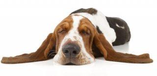 Basset Hound Cinsi Köpek Bakımı ve Özellikleri