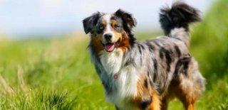 Avustralya Çoban Cinsi Köpek Bakımı ve Özellikleri