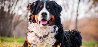 Bernese Dağ Köpeği Cinsi Köpek Bakımı ve Özellikleri