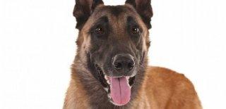 Belçika Malinois Cinsi Köpek Bakımı ve Özellikleri