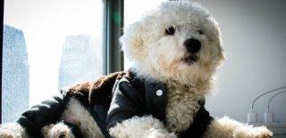 Bichon Frise Cinsi Köpek Bakımı ve Özellikleri