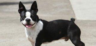 Boston Terrier Cinsi Köpek Bakımı ve Özellikleri