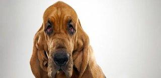 Bloodhound Cinsi Köpek Bakımı ve Özellikleri