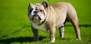 Bulldog Cinsi Köpek Bakımı ve Özellikleri