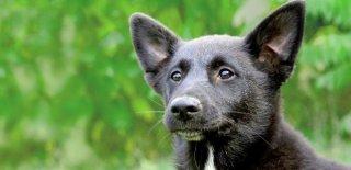 Canaan Cinsi Köpek Bakımı ve Özellikleri