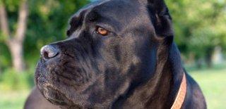 Cane Corso İtaliano Cinsi Köpek Bakımı ve Özellikleri