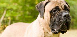 Bullmastiff Cinsi Köpek Bakımı ve Özellikleri