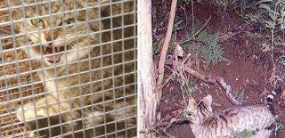 Avustralya İki Milyon Yabani Kedi İçin Zehirli Sosis Hazırlıyor!